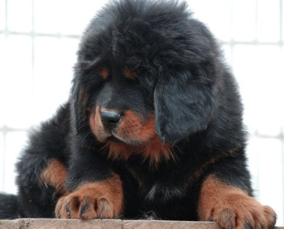 Tibetan mastiff most expensive dog in the world