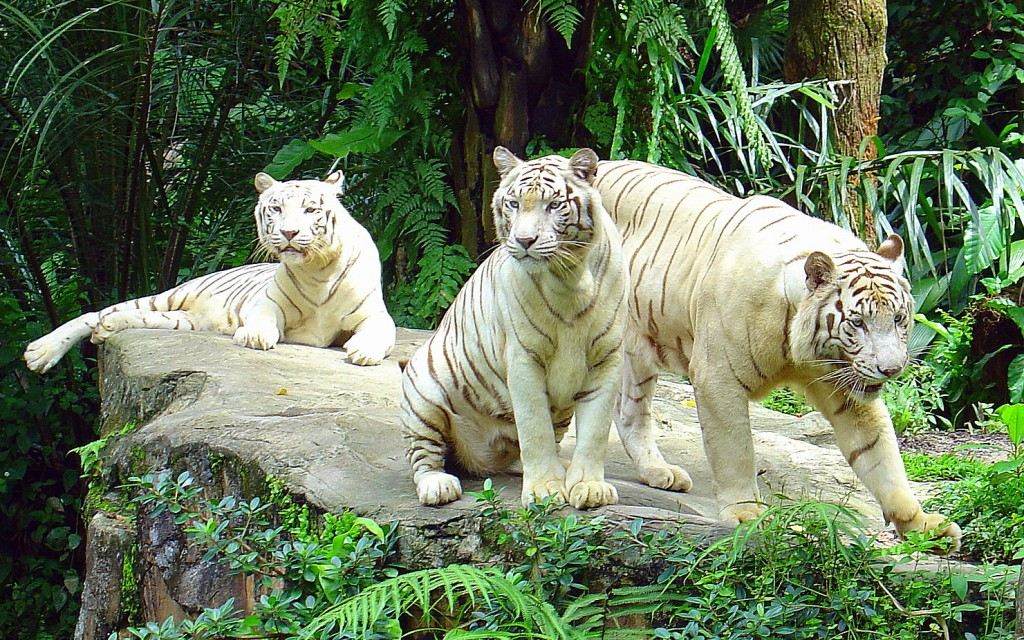 White_Tigers,_Singapore_Zoo